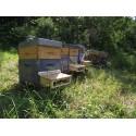 Pollen frais de cistes